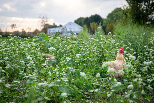 Chickens wander around the farm, weaving in and out of people harvesting crops.