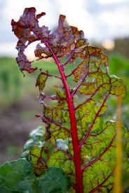 Bucksnort Farm is an organic farm. As this leaf of Swiss chard shows, not using pesticides makes produce more vulnerable to insects. By taking this risk, however, the farm fosters more biodiversity, allowing for a more circular system to take hold.