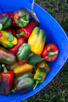 We visited the farm on one of the group's harvest nights. These colorful peppers were one of the first things to be picked.