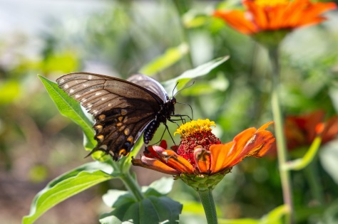 A butterfly drinks nectar from a flower in TNFP's garden.