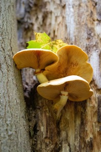 Mushrooms sprout out of the trunk of an unsuspecting tree.