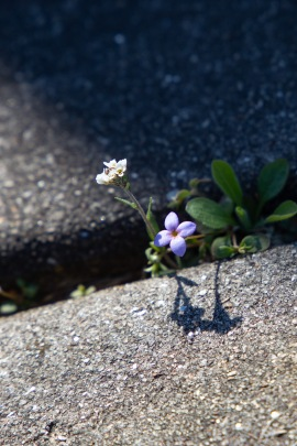 A photo of a flower growing up through a crack in a sidewalk. Click on this image to get to the photo essay for episode one of season two, based in Buckingham, VA.