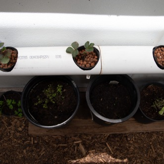 Strawberry plants grow in an experimental hydroponics system built at the STAR school.